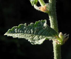 Stockrose Blatt gruen Alcea rosea 02