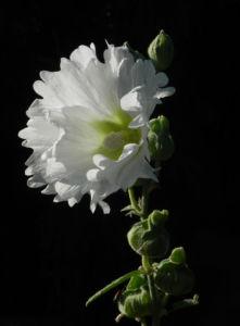 Stockrose Blute weiss Blatt gruen Alcea rosea 03