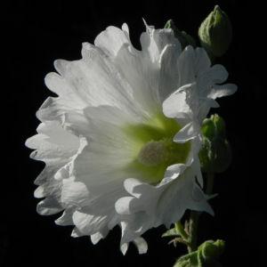 Stockrose Blute weiss Blatt gruen Alcea rosea 04