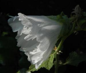 Stockrose Blute weiss Blatt gruen Alcea rosea 08