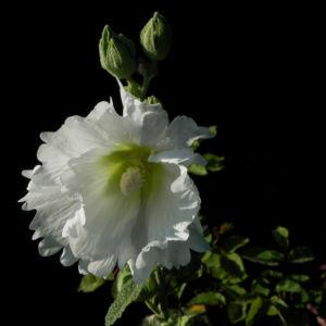 Stockrose Blute weiss Blatt gruen Alcea rosea 12