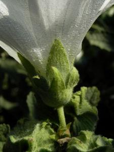Stockrose Blute weiss Blatt gruen Alcea rosea 14