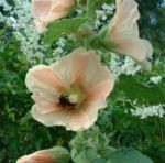 Stockrose creme Alcea rosea Hybriden 02