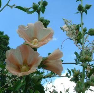 Bild: Stockrose creme Alcea rosea Hybriden