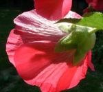 Stockrose hellrot Alcea rosea 01