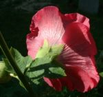Stockrose hellrot Alcea rosea 03