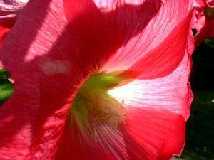 Stockrose hellrot Alcea rosea 04