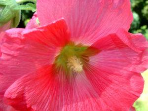Stockrose hellrot Alcea rosea 06