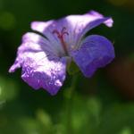 Storchschnabel Bluete blau pink Geranium nodosum 01
