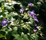 Storchschnabel Bluete blau pink Geranium nodosum 02