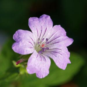 Storchschnabel Bluete blau pink Geranium nodosum 04