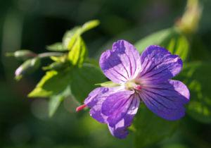 Storchschnabel Bluete blau pink Geranium nodosum 05