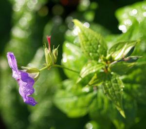 Storchschnabel Bluete blau pink Geranium nodosum 06