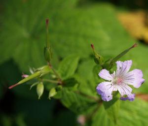 Bild: Storchschnabel Bluete blau pink Geranium nodosum