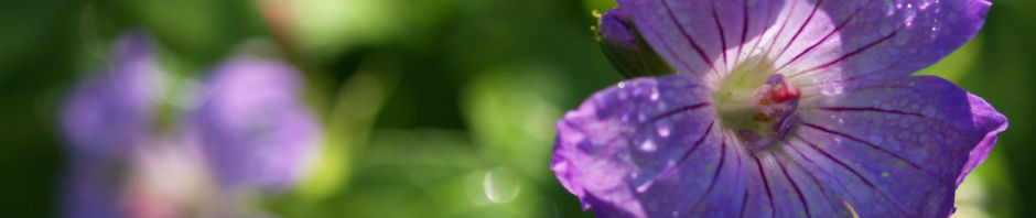 Anklicken um das ganze Bild zu sehen  Knoten-Storchschnabel Blüte blau pink Geranium nodosum