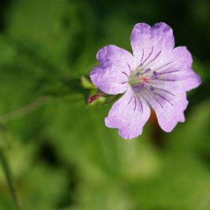 Storchschnabel Bluete blau pink Geranium nodosum 09
