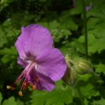 Storchschnabel Geranium x cantabrigiense 01