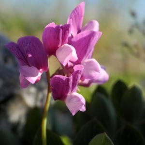 Strand Platterbse Bluete pink Lathyrus japonicus 05