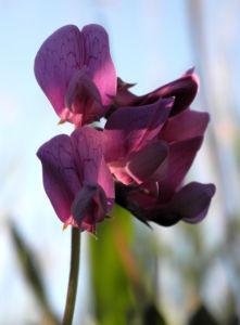 Strand Platterbse Bluete pink Lathyrus japonicus 10