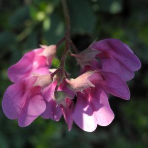 Strand Platterbse Bluete pink Lathyrus japonicus 14