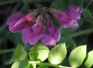Strand Platterbse Bluete pink Lathyrus japonicus 22