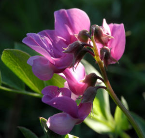 Strand Platterbse Bluete pink Lathyrus japonicus 25