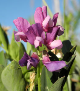 Strand Platterbse Bluete pink Lathyrus japonicus 29