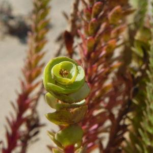 Strand Wolfsmilch Blatt gruen Euphorbia paralias 02