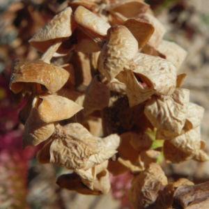Strand Wolfsmilch Blatt gruen Euphorbia paralias 07