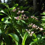 Strandflieder Bluete rose Limonium dendroides 05