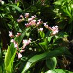 Strandflieder Bluete rose Limonium dendroides 06