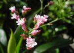 Strandflieder Bluete rose Limonium dendroides 07