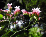 Strandflieder Bluete rose Limonium dendroides 08