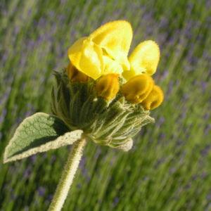Strauch Brandkraut Bluete gelb Phlomis fruticosa 01