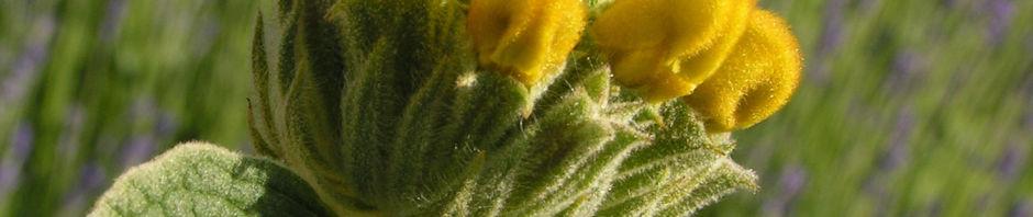 strauchiges-brandkraut-bluete-gelb-phlomis-fruticosa
