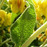 Strauch Brandkraut Bluete gelb Phlomis fruticosa 02