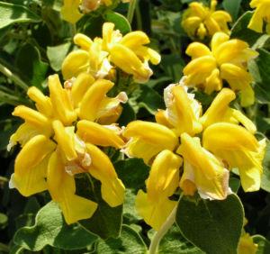 Strauch Brandkraut Bluete gelb Phlomis fruticosa 03