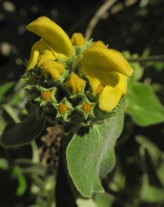 Strauch Brandkraut Bluete gelb Phlomis fruticosa 04