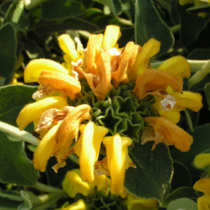Strauch Brandkraut Bluete gelb Phlomis fruticosa 06