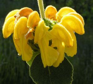 Strauch Brandkraut Bluete gelb Phlomis fruticosa 09