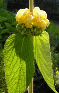Strauch Brandkraut Bluete gelb Phlomis fruticosa 10