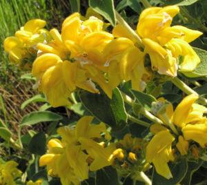 Strauch Brandkraut Bluete gelb Phlomis fruticosa 12