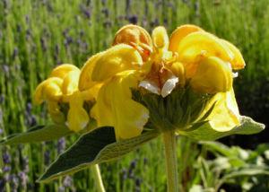 Bild: Strauch Brandkraut Bluete gelb Phlomis fruticosa