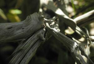 Strauch Brandkraut Holz grau Phlomis fruticosa 06