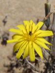 Strauch Dornlattich Bluete gelb Launaea arborescens 05