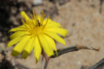 Strauch Dornlattich Bluete gelb Launaea arborescens 06