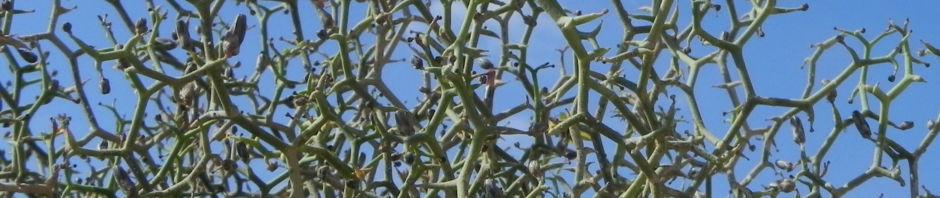 strauch-dornlattich-bluete-gelb-launaea-arborescens