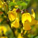 Strauch Hufeisen KLee Bluete gelb Hippocrepis emerus 04