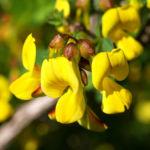 Strauch Hufeisen KLee Bluete gelb Hippocrepis emerus 06
