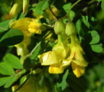 Strauch Kronwicke Bluete gelb Hippocrepis emerus 03